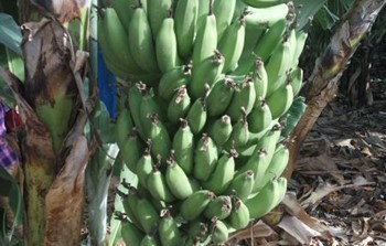 בננות 1.jpg