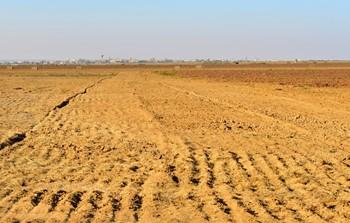 שדה עם בלות ועבסאנים- עזרא צחור.jpg