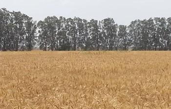 שדה לפני קציר- יפעת הגלילי.jpg